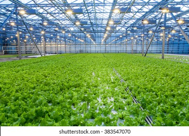 Cultivation of salad inside big industrial greenhouse perspective background