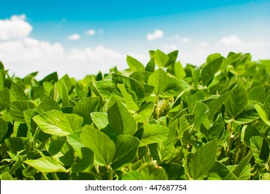 Cultivation of soybeans in a field