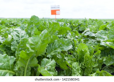The cultivation of sugar beet
