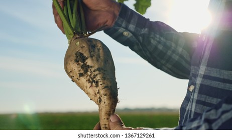 The cultivation of sugar beet. A man agronomist holding a root vegetable of sugar on the field