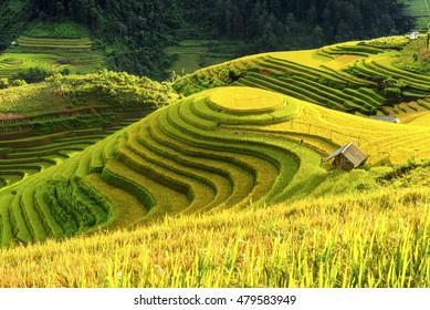 Cultivation in vietnam Rice fields terraced  prepare harvest