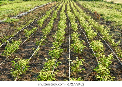 Cultivation of walnut seedlings on the plantation nursery on the stock for sale in the aisle between the planting of hazelnuts