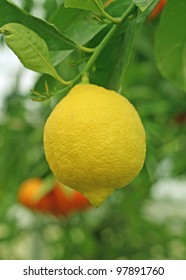 cultivation of yellow lemon in Sicily in Italy