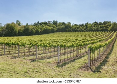 Cultivation of a young vineyard Euganean Hills area of excellent wines Padua, Padua.-Italy