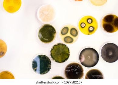 Culture of bacteria in petri dish