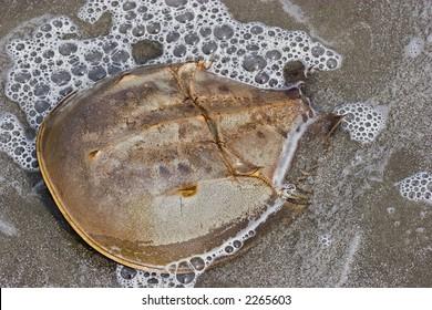 Cumberland Island Horseshoe Crab