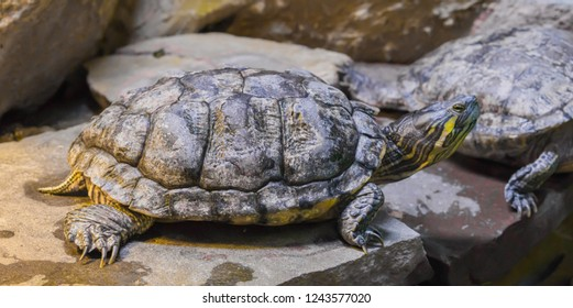 cumberland slider turtle in closeup sitting on a stone, tropical reptile pet from America