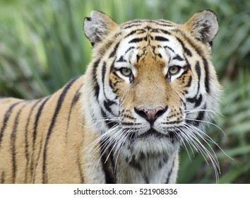 Cumiana,Italy-August 12, 2014: Portrait of the Royal Bengala Tiger on Zoom Biopark in Cumiana, Italy