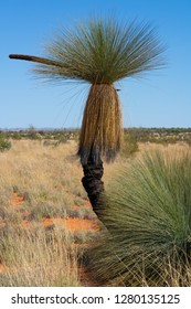 Cundeelee grasstree or Xanthorrhoea thorntonii in outback landscape of MacDonnell Ranges NT central Australia