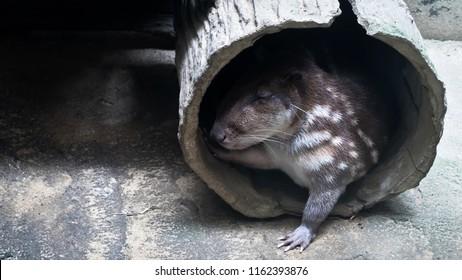 cuniculus spotted Paca , Mammals of South America