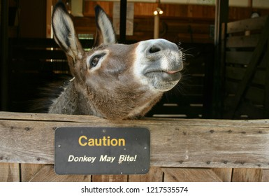 "A cunning donkey with mouth partly open sticks its head out from a stall with a sign saying ""Caution, Donkey May Bite!"" and just waits for the copportunity to bite!"