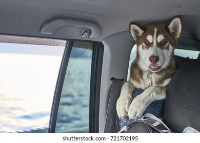 Cunte red Siberian husky puppy is traveling in a car. Front view, portrait.