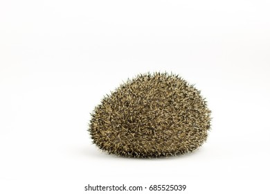 cunted hedgehog on white background