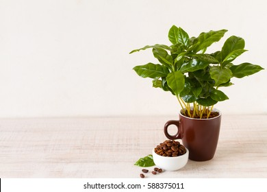 Cup of coffee in front of small coffee tree in a potted plant