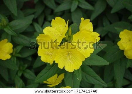 Cup Shaped Yellow Flowers Evening Primrose Stock Photo Edit Now