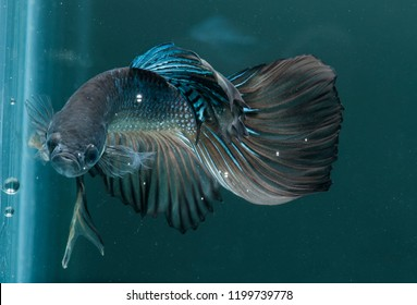 cupang or betta fish half moon