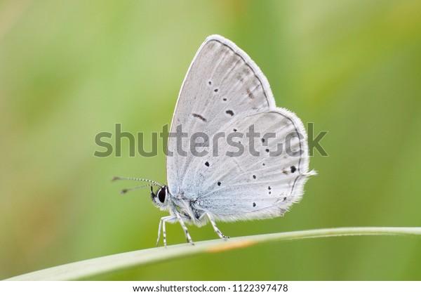 Sưu tập Bộ cánh vảy 3 - Page 35 Cupido-decolorata-eastern-shorttailed-blue-600w-1122397478