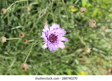 Cupids Dart flower (or Blue Cupidone, Cerverina) in Innsbruck, Austria. Its scientific name is Catananche Caerulea, native to Mediterranean region (South-west Europe).