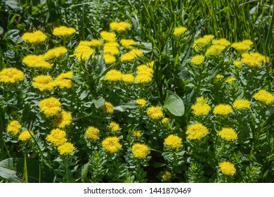 Curative plant Rhodiola rosea, flowers in the mountains