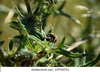 curculionidae, true weevils on a thistle
