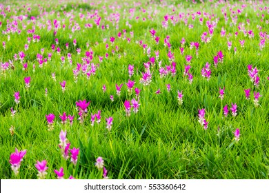 Curcuma  aeruqinosa Roxb.or siam tulip