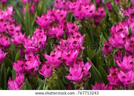 Now Lilacs Are Blooming In March >> Curcuma Alismatifolia Flowers Bloom March July Stock Photo Edit Now