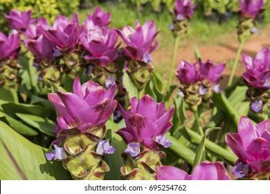 Curcuma sessilis on nature.Members of the family are small to large herbaceous plants with distichous leaves with basal sheaths that overlap to form a pseudostem