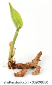 Curcuma sp., The medicinal properties of joint pain.