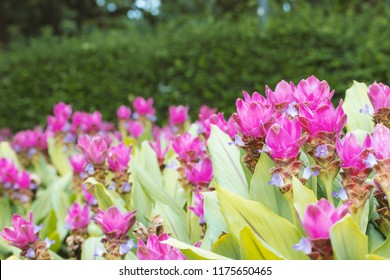 Curcuma Zanthorrhiza (Siam Tulip Curcuma Alismatifolia), close up of pink Siam tulip flowers in park