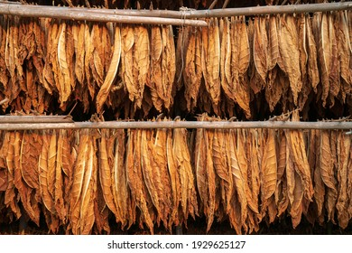 Curing Burley Tobacco Hanging in a Barn.Tobacco leaves drying in the shed.Agriculture farmers use tobacco leaves to incubate tobacco leaves naturally in the barn.