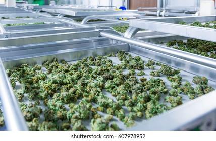 Curing Indoor Marijuana