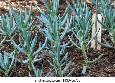 Curio repens, syn. Senecio serpens G.D. Rowley. Commonly named blue chalksticks, it is used as an ornamental plant.