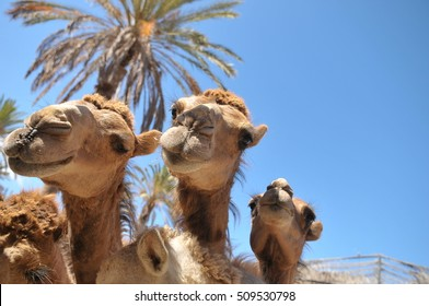 Curiosity and the joy of camels in Oasis Park Zoo on the one of the Canary Islands - Fuerteventura. Interesting and hot summer.