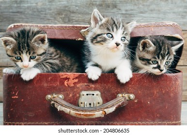 Curiosity kittens in vintage suitcase on a wooden background