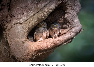 Curiosity and wisdom of Owl family. Spotted owlet family standing in the hollow tree nest looking at the camera