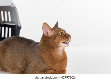 Curious Abyssinian cat and box. Isolated on white background