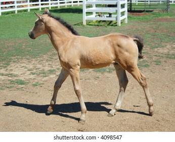 Curious, Alert Morgan Horse foal
