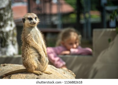 Curious and alerted meerkat is sitting on a stone with kid watching in the background in a zoo