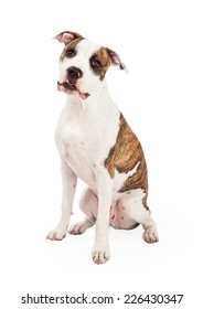 A curious American Staffordshire Terrier Dog sitting while looking directly into the camera.
