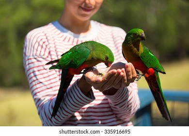Curious Australian King-parrot (Alisterus scapularis) is being fed from the hand, seen near Apollo Bay on the Great Ocean Road, Victoria - Australia.