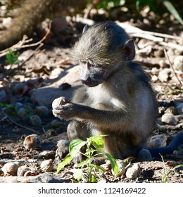 curious baboon baby,South Africa