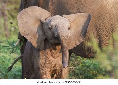 Curious baby elephant.