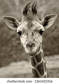 Curious Baby Giraffe Looking Right into the Camera, Black and White