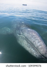 A curious baby gray whale comes to my boat in a sanctuary lagoon in Baja, Mexico