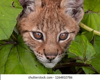 Curious baby lynx