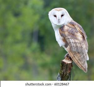 A curious barn owl.