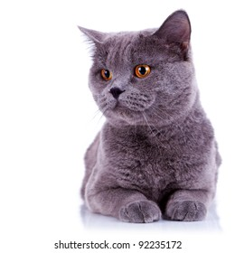 curious big english cat looking at something on white background