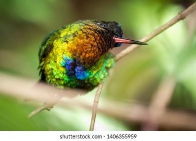 Curious bird. Fiery throated hummingbird, San Gerardo de Dota, Costa Rica. A Small bird found in the high elevation forests of Costa Rica and Panama.