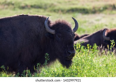 A curious bison looking forward while standing in the afternoon sunshine and prairie wildflowers in Custer State Park, South Dakota.