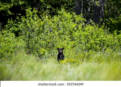 Curious black bear cub standing in tall grass, Waterton National Park Alberta Canada